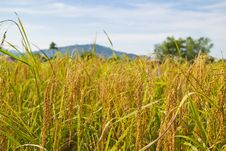 Free Yellow Rice In Farm On Summer Royalty Free Stock Photos - 30534448