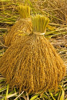 Free Yellow Rice In Farm Stock Images - 30534524