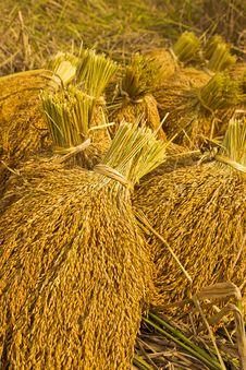 Free Yellow Rice In Farm Royalty Free Stock Photos - 30534608