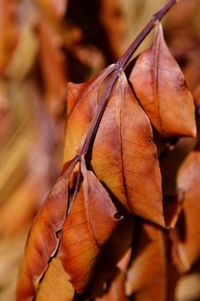 Free Withered  Brown Leafs Royalty Free Stock Photo - 30535975