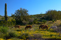 Free Wild Mustangs In Wildflower Desert Stock Image - 30541731