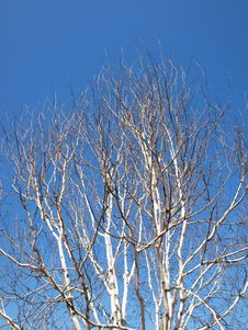 Free Birch Tree Stock Images - 30540914