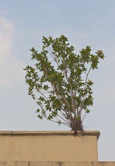 Small Banyan Tree On The Wall