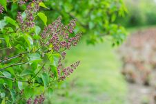 Free Lilac Flower Buds Royalty Free Stock Photos - 30542438