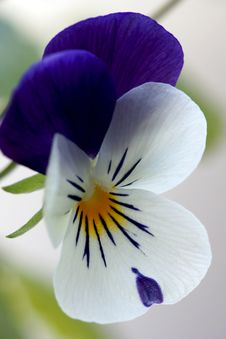 Free Viola Cornuta - Spring Perennials Royalty Free Stock Photography - 30543777