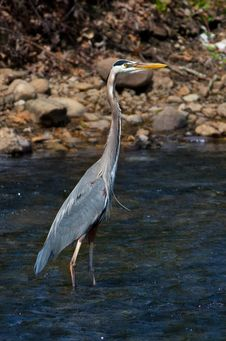 Free Great Blue Heron Stock Photo - 30544570