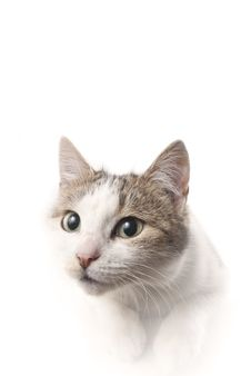Free Lying Cat Watching On Isolated White Background Stock Image - 30545631