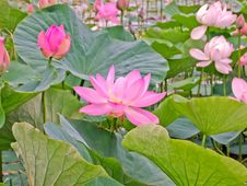Free Lotus Flowers In A Pond Stock Photography - 30545682