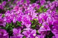 Free Bougainvillea Or Paper Flower Royalty Free Stock Photos - 30546878