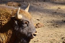 Free European Bisons Royalty Free Stock Photo - 30549165