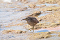 Free Sandpiper Stock Images - 30553584
