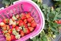 Free Strawberry Picking Stock Photos - 30558083