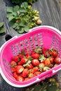 Free Strawberry Picking Royalty Free Stock Photos - 30558228