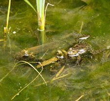 Free Frog Stock Photo - 30557040