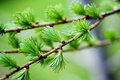 Free Spruce Branch Stock Photography - 30560252