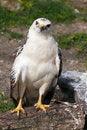 Free Osprey Stock Images - 30569334