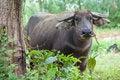 Free Buffalo Royalty Free Stock Photos - 30569378