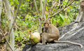 Free Monkey Eating Fresh Coconut Stock Image - 30569661