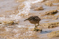 Free Sandpiper Royalty Free Stock Photos - 30569838