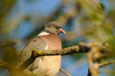 Common Wood Pigeon &x28;Columba Palumbus&x29; Stock Images