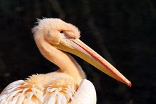 Free Detail Pelican Royalty Free Stock Photos - 30564508