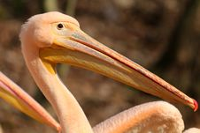 Free Detail Pelican Royalty Free Stock Photo - 30564575