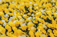 Free Yellow Petunia Blooming Stock Image - 30568131