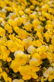 Free Yellow Petunia Blooming Stock Photos - 30568143