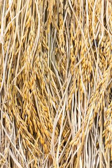 Free Dry Paddy Rice Stock Photo - 30569270