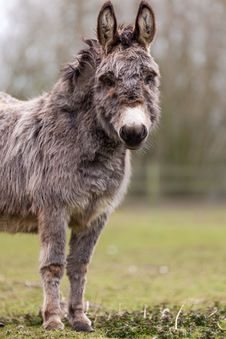 Free Donkey Royalty Free Stock Photography - 30569337