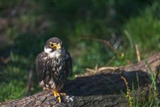 Free Peregrine Falcon Royalty Free Stock Images - 30569349