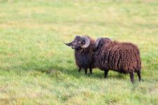 Free Sheep Stock Photography - 30569352