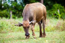 Free Buffalo Royalty Free Stock Photography - 30569367