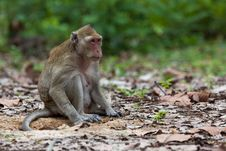 Free Monkey Royalty Free Stock Images - 30569369