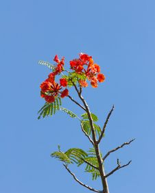 Free Flame Tree Blossom Stock Image - 30569391
