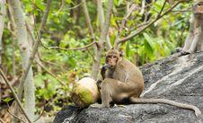 Monkey Eating Fresh Coconut Stock Image
