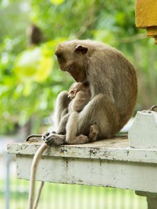 Mother Monkey And Baby Monkey Royalty Free Stock Image
