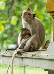 Mother Monkey And Baby Monkey. Royalty Free Stock Photo