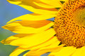 Free Sunflower Stock Images - 30576824
