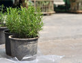 Free Thyme In Pots Stock Photo - 30577070