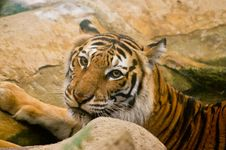 Free Tiger Royalty Free Stock Images - 30570339