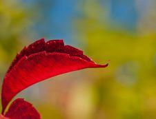 Free Grapes Foliage Stock Photos - 30571163