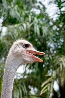 Free Ostrich Royalty Free Stock Photo - 30571275