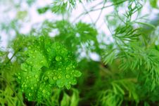 Free Young Shoots Of Parsley And Fennel Royalty Free Stock Photo - 30571845