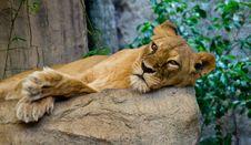 Free Lion Stock Photos - 30572783