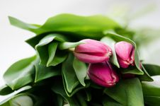 Free Tulips Royalty Free Stock Images - 30573179