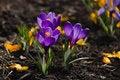 Free Purple Crocuses Royalty Free Stock Images - 30589539