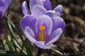 Free Purple Crocuses Stock Images - 30589814