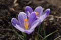 Free Purple Crocuses Royalty Free Stock Image - 30589876