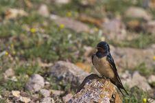 Free Swallow On A Rock &x28;Hirundo Rustica&x29; Royalty Free Stock Image - 30581956